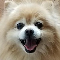 Adopt A Pet :: Chulo - Harrisburg, PA