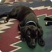 Adopt A Pet :: Shay - Valley Stream, NY