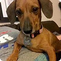 Adopt A Pet :: Trixie Mouse - Houston, TX