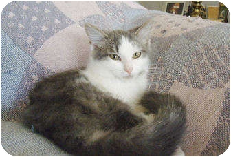 Turkish Angora Kitten for adoption in Colmar, Pennsylvania - Chanceux