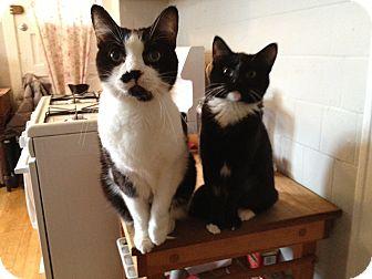 Domestic Shorthair Cat for adoption in Chicago, Illinois - Batgirl