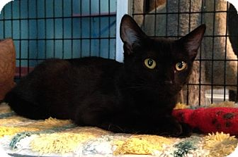 Domestic Shorthair Cat for adoption in Deerfield Beach, Florida - Rex