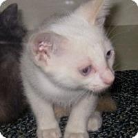 Adopt A Pet :: Gruyere - Dallas, TX