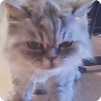 Adopt A Pet :: Shou Hoo - Beverly Hills, CA