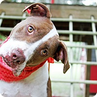 Pit Bull Terrier/Pointer Mix Dog for adoption in Odessa, Florida - Regina