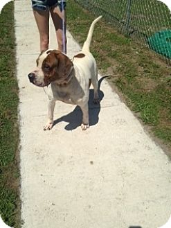 American Bulldog/Treeing Walker Coonhound Mix Dog for adoption in Wauchula, Florida - Hendrix