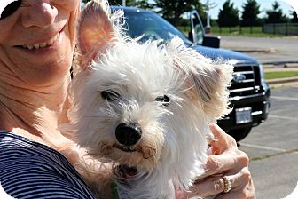 Maltese/Westie, West Highland White Terrier Mix Dog for adoption in Sugar Grove, Illinois - Wesley