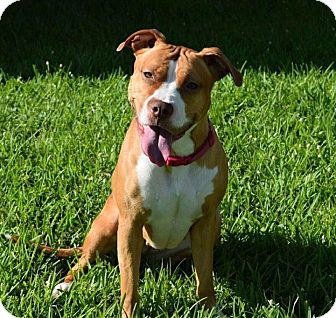 American Staffordshire Terrier/American Pit Bull Terrier Mix Dog for adoption in Ft. Myers, Florida - Sammy