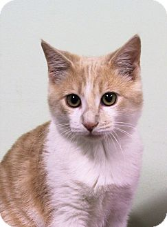 Domestic Shorthair Kitten for adoption in Murphysboro, Illinois - Dougal