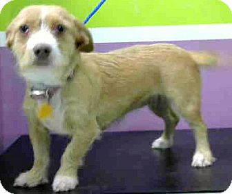 Dachshund/Terrier (Unknown Type, Small) Mix Dog for adoption in Boulder, Colorado - Carly-ADOPTION PENDING