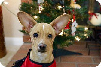 Miniature Pinscher/Chihuahua Mix Puppy for adoption in La Verne, California - Reign