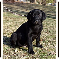 Adopt A Pet :: Dodger - Milford, NJ
