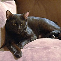 Adopt A Pet :: Midnight - Arlington/Ft Worth, TX