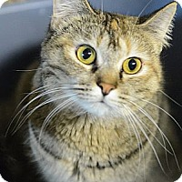 Domestic Shorthair Cat for adoption in Muskegon, Michigan - layla