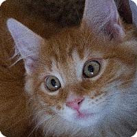 Adopt A Pet :: Cheezy Poof - Chandler, AZ
