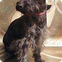 Adopt A Pet :: Kira-Adoption pending - Bridgeton, MO