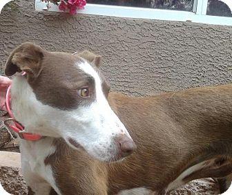 Collie/Ibizan Hound Mix Dog for adoption in Gilbert, Arizona - Rayna Jane