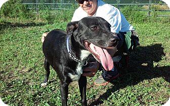 Shepherd (Unknown Type)/Border Collie Mix Dog for adoption in Grantville, Pennsylvania - Jeffrey