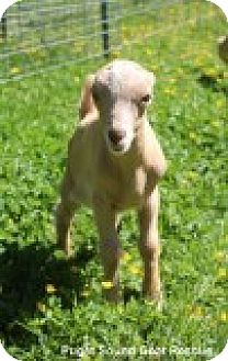Goat for adoption in Maple Valley, Washington - Petrie & Beeker