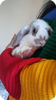 Mini Lop Mix for adoption in Los Angeles, California - Piper