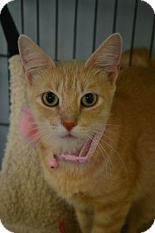 Domestic Shorthair Cat for adoption in Beaumont, Texas - Helena