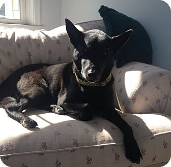 Labrador Retriever/Shepherd (Unknown Type) Mix Dog for adoption in Bluffton, South Carolina - Abigail