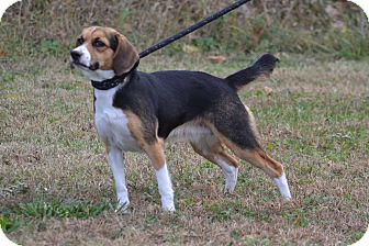 Beagle Dog for adoption in Lebanon, Missouri - Sparkles