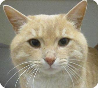 Domestic Shorthair Cat for adoption in Lloydminster, Alberta - Nick