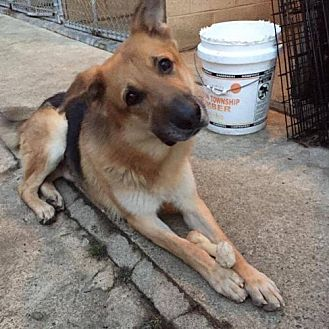 German Shepherd Dog Dog for adoption in Matawan, New Jersey - Dalton