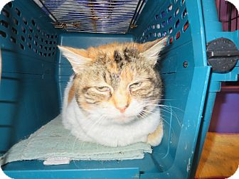 Calico Cat for adoption in Coos Bay, Oregon - Callie jo jo
