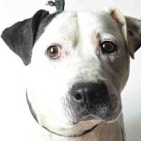 Adopt A Pet :: CLOVER - Ukiah, CA