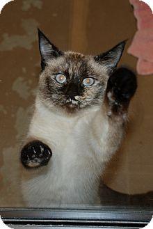 Siamese Cat for adoption in Salem, West Virginia - Star Star