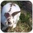 Photo 1 - Mini Rex for adoption in Santee, California - Spice