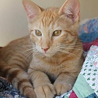 Domestic Shorthair Cat for adoption in Los Angeles, California - Abba Zabba