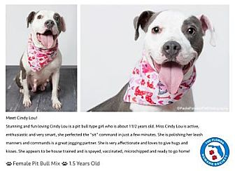 Pit Bull Terrier Mix Dog for adoption in Pompano Beach, Florida - Cindy Lou