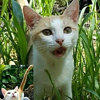 Domestic Shorthair Cat for adoption in Cincinnati, Ohio - Sephora