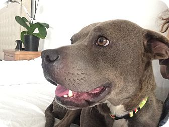 Pit Bull Terrier Mix Dog for adoption in Santa Monica, California - Heather