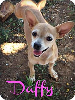 Chihuahua Mix Dog for adoption in Phoenix, Arizona - DAFFY