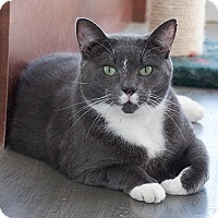 Domestic Shorthair Cat for adoption in Wilmington, Delaware - Toe