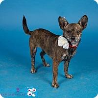 Adopt A Pet :: Marla - Irving, TX