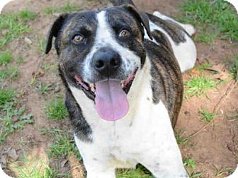 Australian Cattle Dog/American Staffordshire Terrier Mix Dog for adoption in Tallahassee, Florida - WILEY