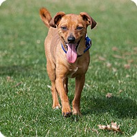 Terrier (Unknown Type, Small)/Dachshund Mix Dog for adoption in Washoe Valley, Nevada - Timon