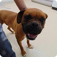 Adopt A Pet :: Brownie - Denver, CO