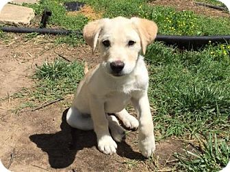 Labrador Retriever Mix Puppy for adoption in Wichita, Kansas - Bear