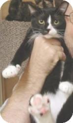 Domestic Shorthair Cat for adoption in Miami, Florida - Typo
