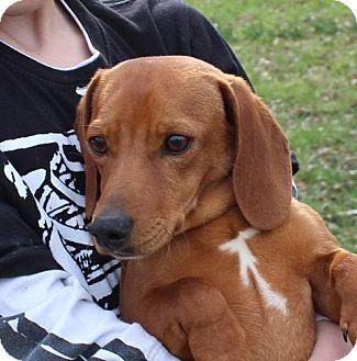 Dachshund/Beagle Mix Dog for adoption in Windham, New Hampshire - Zippy