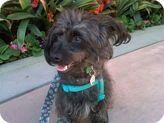 Terrier (Unknown Type, Small) Mix Dog for adoption in Thousand Oaks, California - Yogi