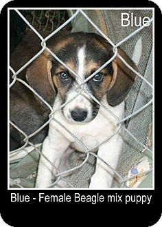 Beagle/Beagle Mix Puppy for adoption in New Jersey, New Jersey - NJ Columbus - Blue