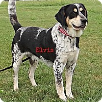Adopt A Pet :: Elvis - Geneseo, IL