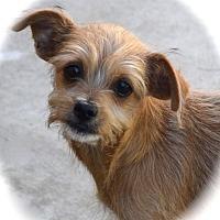 Adopt A Pet :: Kiki - La Habra Heights, CA